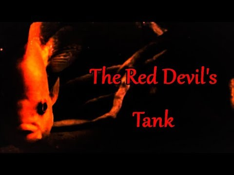 Red Devil Cichlid Care & Tank Set Up Guide