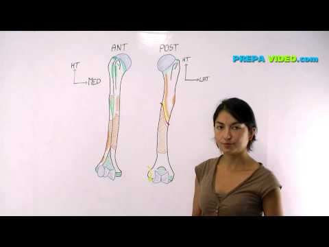 anatomie cours osteologie humerus
