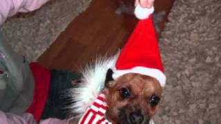 Slide Show Pics Of Coco (chihuahua X Yorkshire Terrier) Xxx