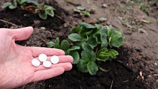 Эти дешевые таблетки заменят вам все удобрения! Клубника, чеснок, рассада будут расти на глазах!