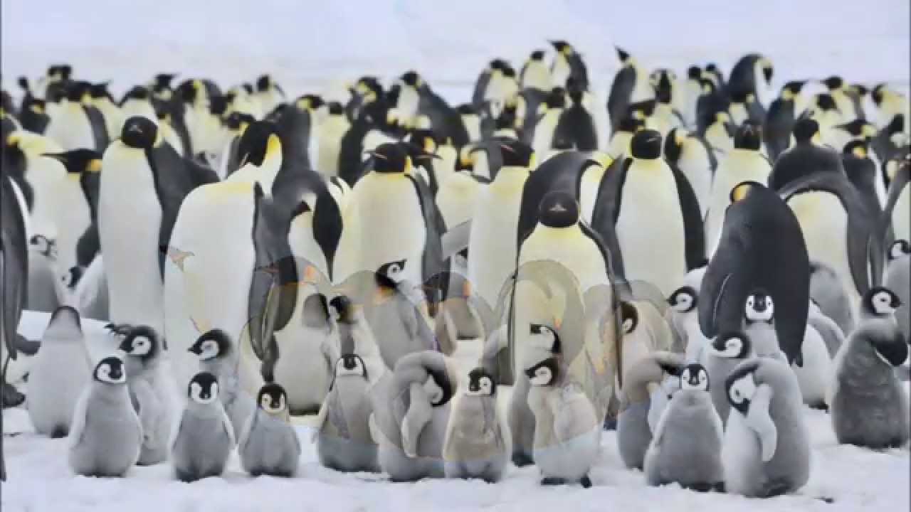 Amazing Facts About Emperor Penguins - YouTube