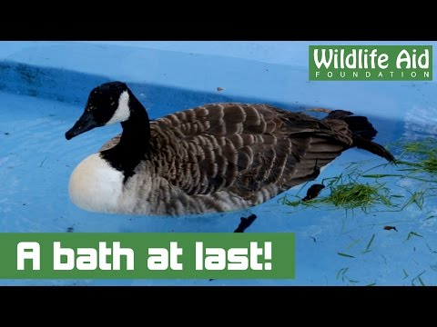 M25 Canada Goose Is Taking A Dip!