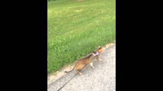 Savannah Cat Walking