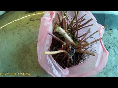 Ремонтантная малина ПОЛАНА - подготовка участка и осенняя посадка