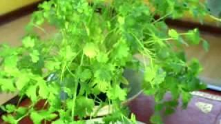 Medicinal Properties Of Coriander (coriandrum Sativum) Cilantro