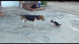 Video Beagle puppy gives an adult, the runaround... download MP3, 3GP, MP4, WEBM, AVI, FLV Juli 2018