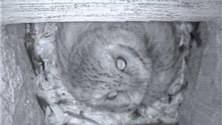Florida Screech Owl Egg Hatch Watch Live!