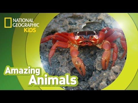 Christmas Crab 🦀 | AMAZING ANIMALS
