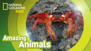 Christmas Crab 🦀 | Amazing Animals