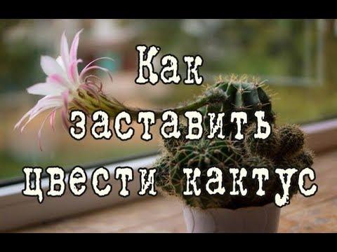 Как заставить цвести КАКТУС | Два метода | Какие кактусы НЕ ЦВЕТУТ в домашних условиях