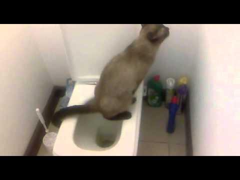 chat qui fait pipi dans les toilettes.mp4 - youtube