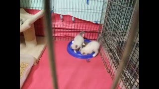 Birman kittens 6 weeks