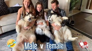 Hugging My Dogs For Too Long! MALE V FEMALE (Howling Too!!)