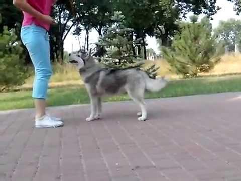 Siberian husky FANDANGO SHAGGY LAND  age 5 months