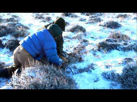 Superior Wyoming collared mule deer released Dec. 2015