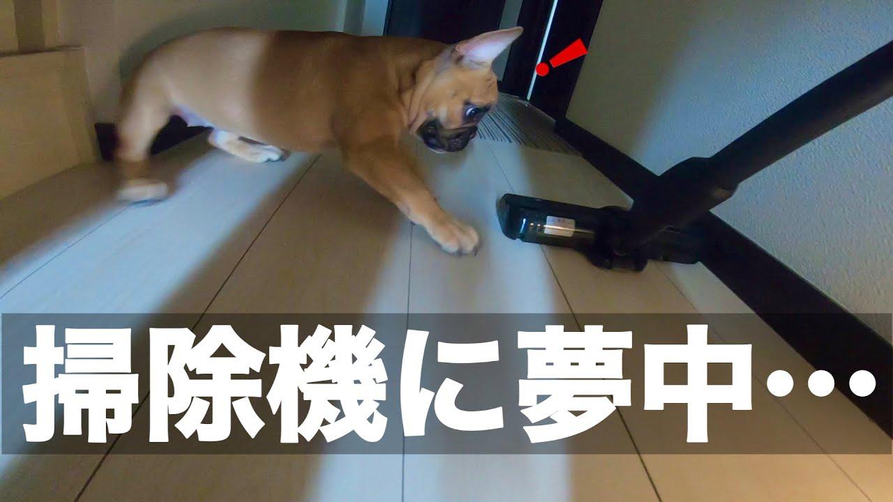 38話 掃除機かけたら花子が凄い事に!?It was very difficult to vacuum the French bulldog Hanako's room.
