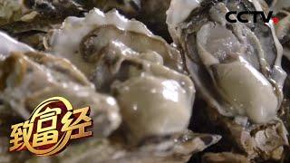 《致富经》 20200508 肥肥的牡蛎好赚钱| CCTV农业