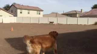Golden Retriever Meme Brothers Playing Ball