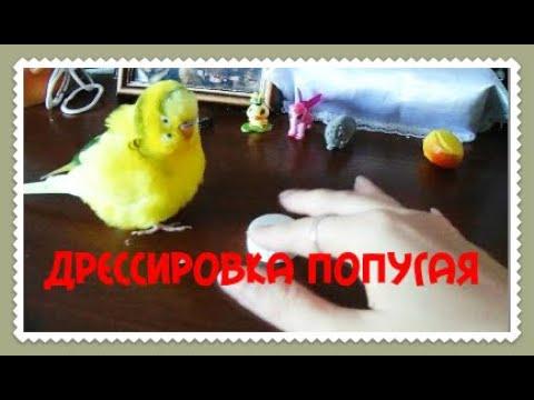 Вопрос: Как дрессировать волнистого попугая?