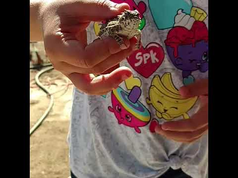 Harry The Horny Toad