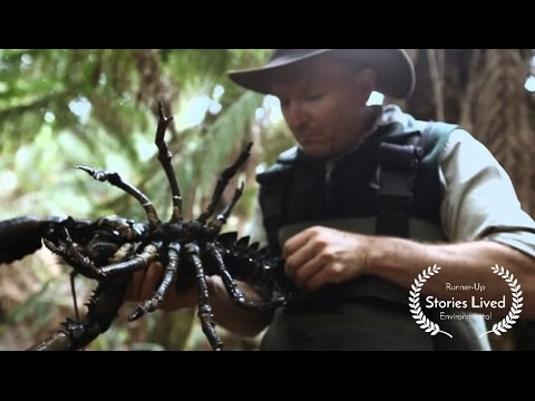 Australian Lobsters Fighting For Survival in Tasmanian Rivers #StoriesLived