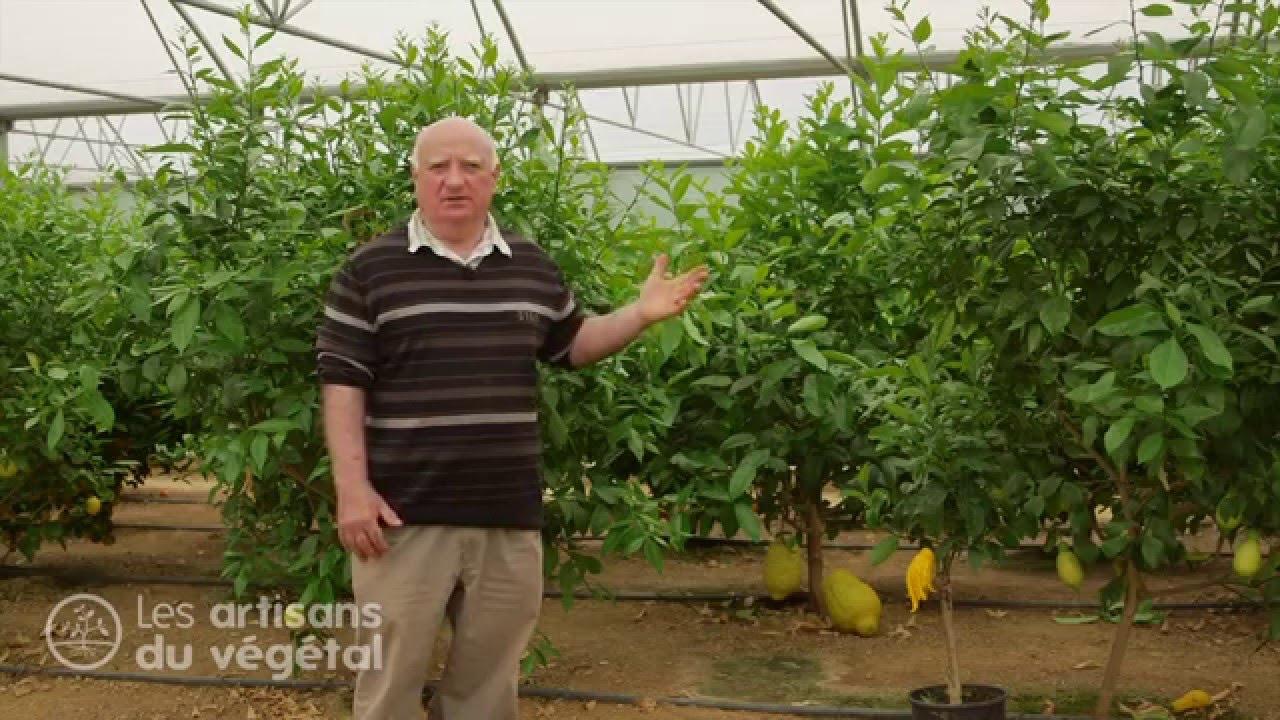 Les diff rentes familles d 39 agrumes citron orange cl mentine bergamote pomelos pamplemousse - Faire pousser un citronnier ...