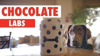 Chocolate Labs