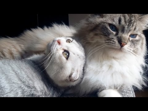 Ragdoll Thorin is the washing machine for the scottish fold kitten Tyrion