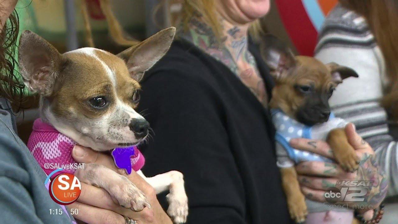 Texas Chihuahua Rescue | SA Live | KSAT 12