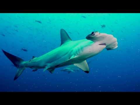 Мультфильм акула молот
