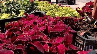 300 тысяч растений украсили парки, скверы и бульвары Краснодара