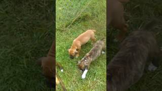 Boxer puppies Norcross. Born 8/11. Registered, shots, Potty/ crate trained.