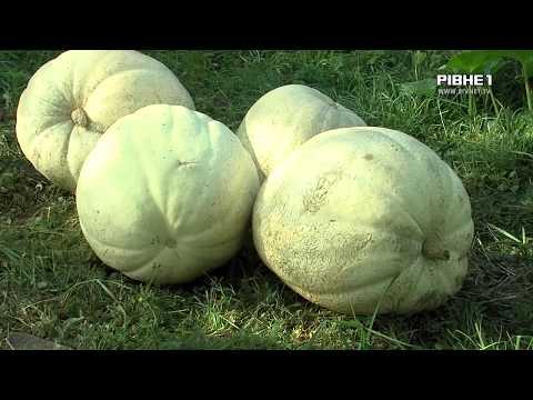 TVRivne1 / Рівне 1: Унікальний врожай рівнянина: Гарбузи - велетні, багатоплідні горіхи та чимала картопля