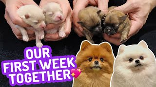 Our First Week Together! Newborn Pomeranian Puppies  One Week old Puppies   Cute Pom Dogs Vlog