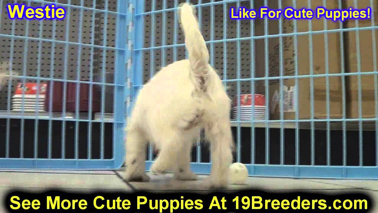 West Highland White Terrier, Westie, Puppies, Dogs, For Sale