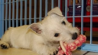 West Highland White Terrier, Westie, Puppies, Dogs, For Sale, In Little Rock, Arkansas, AR