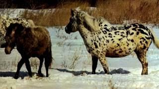Порода лошади. Монгольская порода лошади.Одни из самых маленьких лошадей с короткими ногами