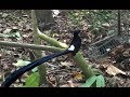 Wow Mikat Burung Murai Dapat  Jtx  Hari Lalu  Mp3 - Mp4 Download