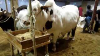 King Of Asia & Sibbi Bull Amir Dilpasand Cattle Farm 2011