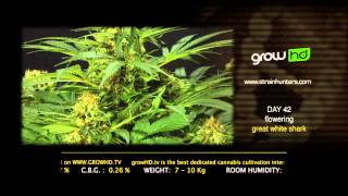 Great White Shark - Green House Grow Sessions