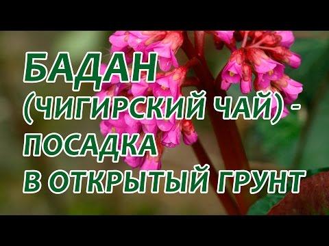 Бадан толстолистный: посадка в открытый грунт. Как посадить бадан весной
