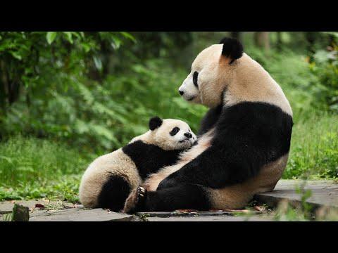 Giant pandas 'downgraded': A wildlife success story