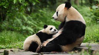 Giant pandas 'downgraded' A wildlife success story