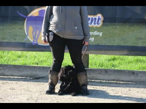 Pitsoor - Hungarian Puli - 4 Weeks Intensive Collect & Train Course
