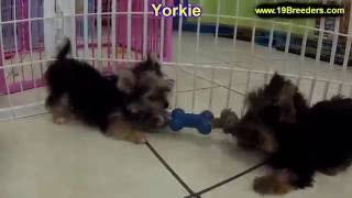 Yorkshire Terrier, Puppies, For, Sale, In, Colorado Springs, Colorado, Co, Montrose, Louisville, Gol