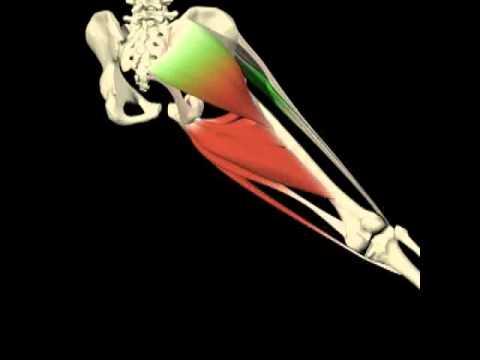 Abducción - aducción cadera. Análisis de movimientos. Agonistas y ...