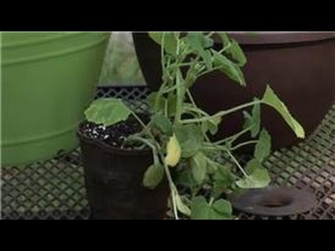 Container Gardening Growing Potted Summer Squash Youtube