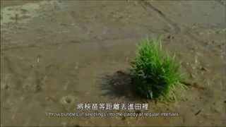 【小森食光/夏秋篇】我家的稻子會飛上天