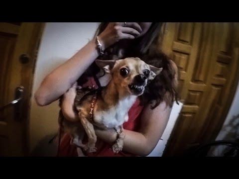 Ужасное нападение Чихуахуа на людей/ Terrible attack of Chihuahua