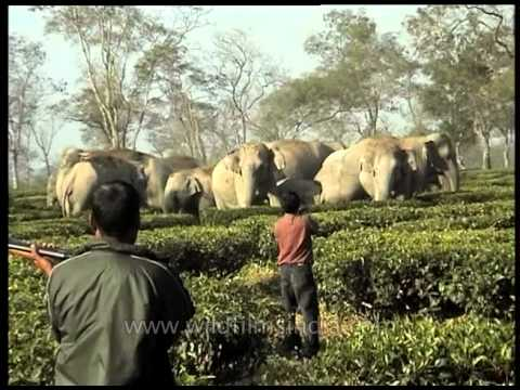 Wild Tuskers Threaten Tea Garden In Assam, India